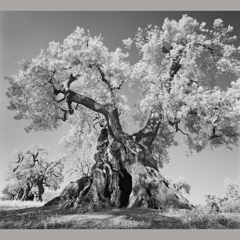 black and white olive trunk