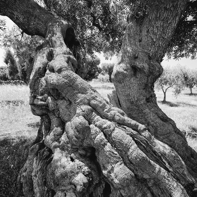 Image result for twisted old olive tree