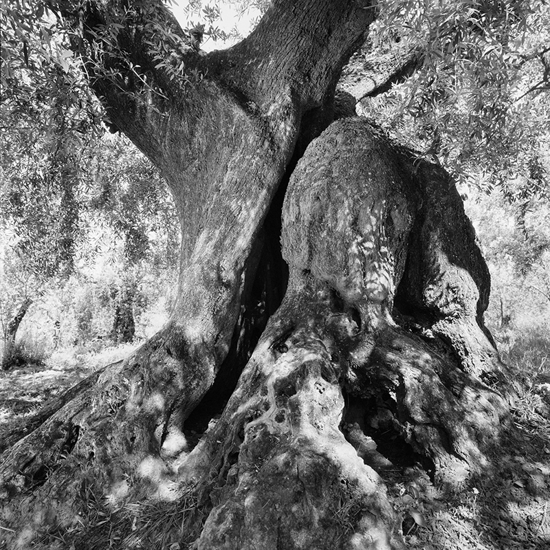 ancient tree olive