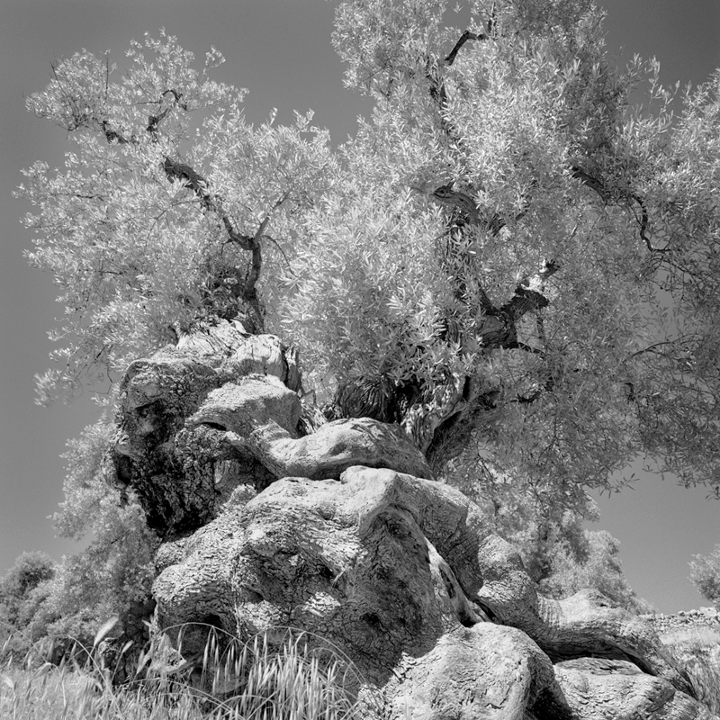 twisted old olive tree